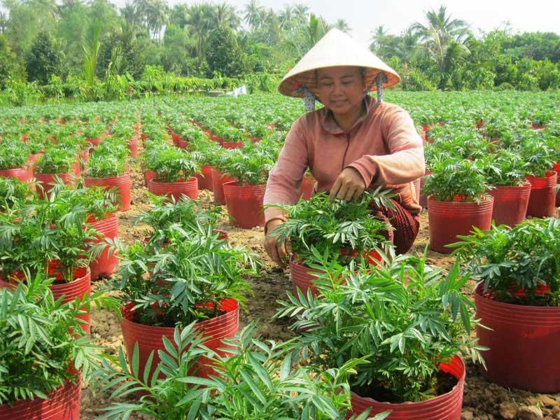 Chị Phạm Thị Thanh Lan vươn lên từ nghề hoa kiểng tết