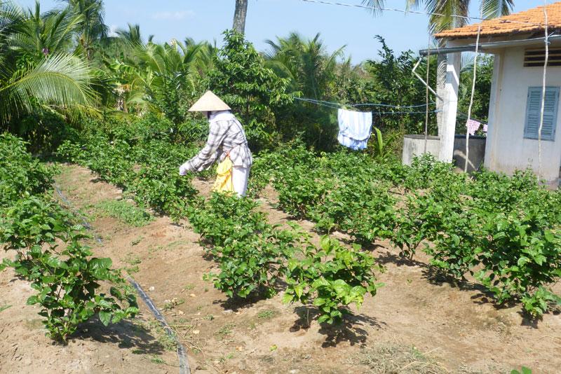 Nông dân xã Long Định trồng thí điểm thành công cây hoa lài
