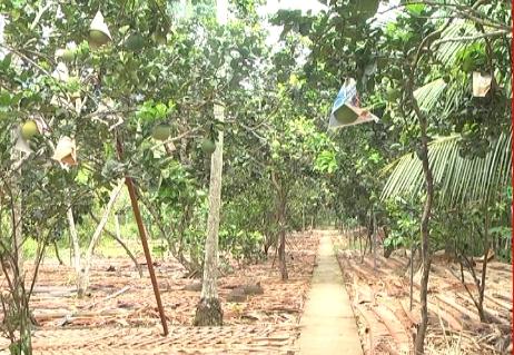 Hiệu quả kinh tế từ mô hình trồng bưởi da xanh của nông dân Nguyễn Văn Sua