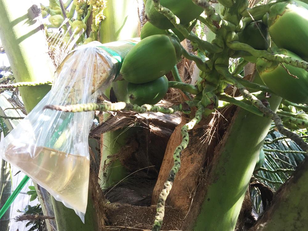Anh Tô Chí Hải thu nhập trên 30 triệu đồng/tháng từ mô hình mật hoa dừa