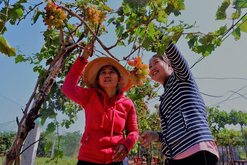 Ý tưởng làm du lịch kết hợp tham quan vườn nho của hai cô gái 9X ở huyện biển Thạnh Phú