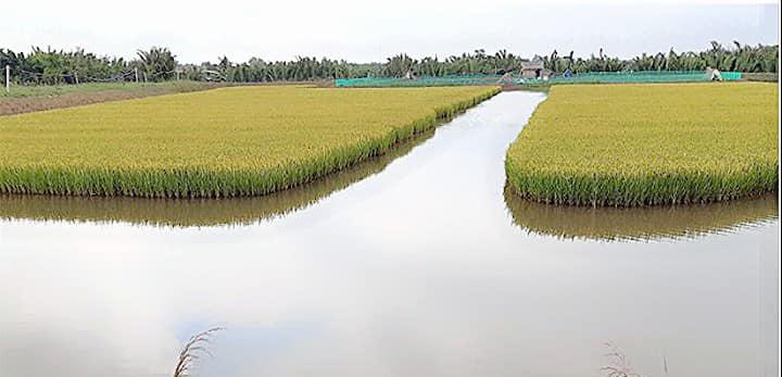 Gia tăng giá trị tài nguyên bản địa với mô hình canh tác lúa - nuôi xen tôm càng và luân canh tôm sú