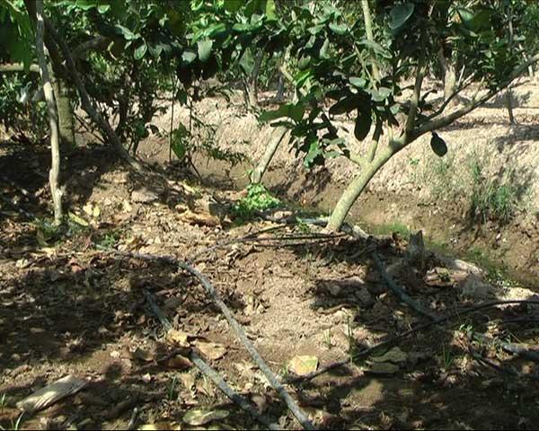 Hiệu quả từ ứng dụng công nghệ tưới nhỏ giọt ISRAEL tiết kiệm nước trong mùa hạn, mặn