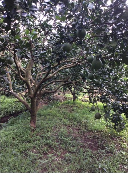 Tin vui cho các hộ sản xuất trái cây khu vực Bến Tre