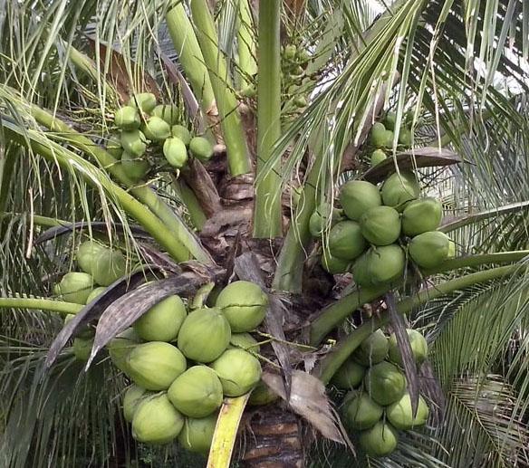 Một số giải pháp hạn chế thiệt hại do ảnh hưởng của hạn mặn trên cây dừa