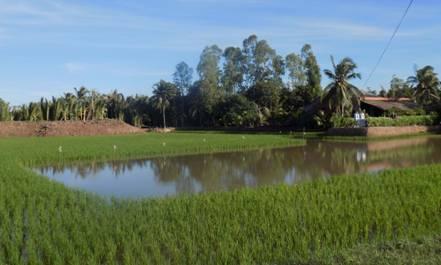 Xây dựng mô hình sản xuất theo hướng lúa tiêu chuẩn hữu cơ trên vùng canh tác tôm – lúa huyện Thạnh Phú, tỉnh Bến Tre