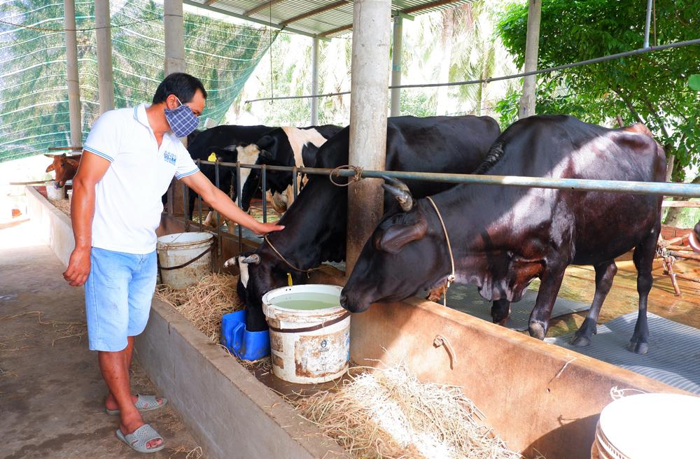 Mô hình nuôi bò sữa tại xã Mỹ Hưng bước đầu có hiệu quả