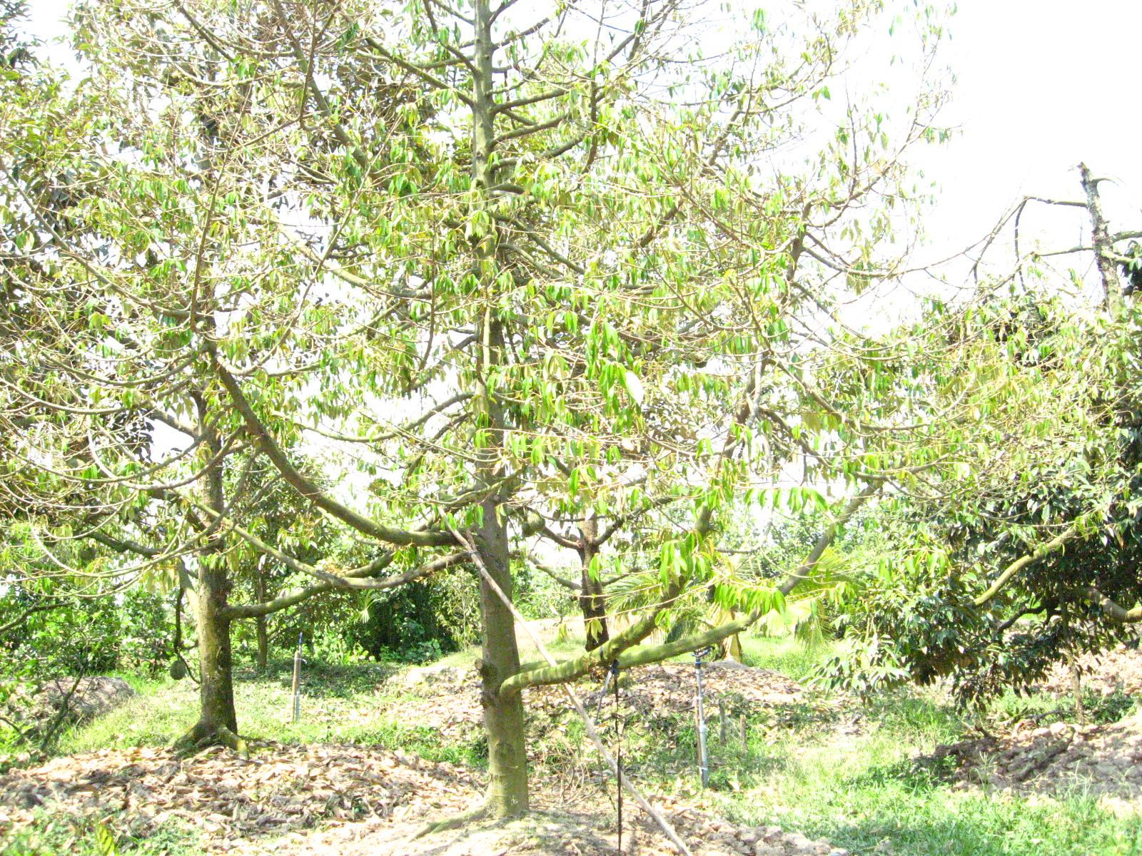 Phú Đa-hàng loạt vườn sầu riêng bị cháy lá, rụng trái đã được phục hồi