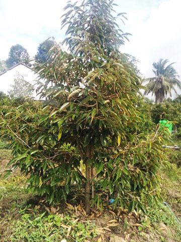 Phục hồi vườn sầu riêng bị ảnh hưởng sau hạn mặn