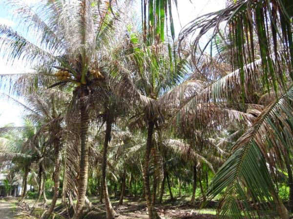 Sâu ăn lá – côn trùng mới gây hại trên cây dừa