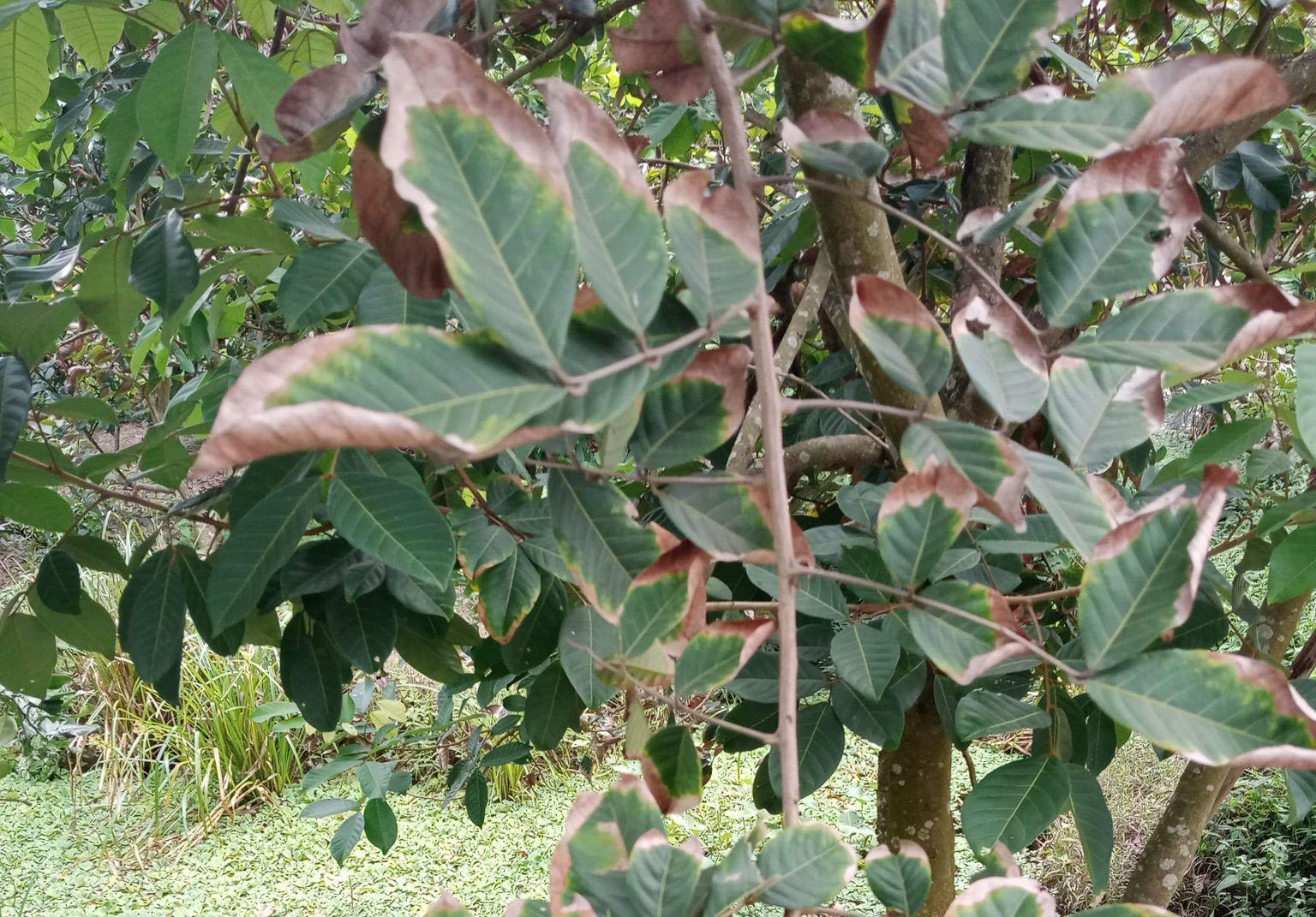 Quy trình chăm sóc cây giống chôm chôm trong điều kiện hạn hán xâm nhập mặn