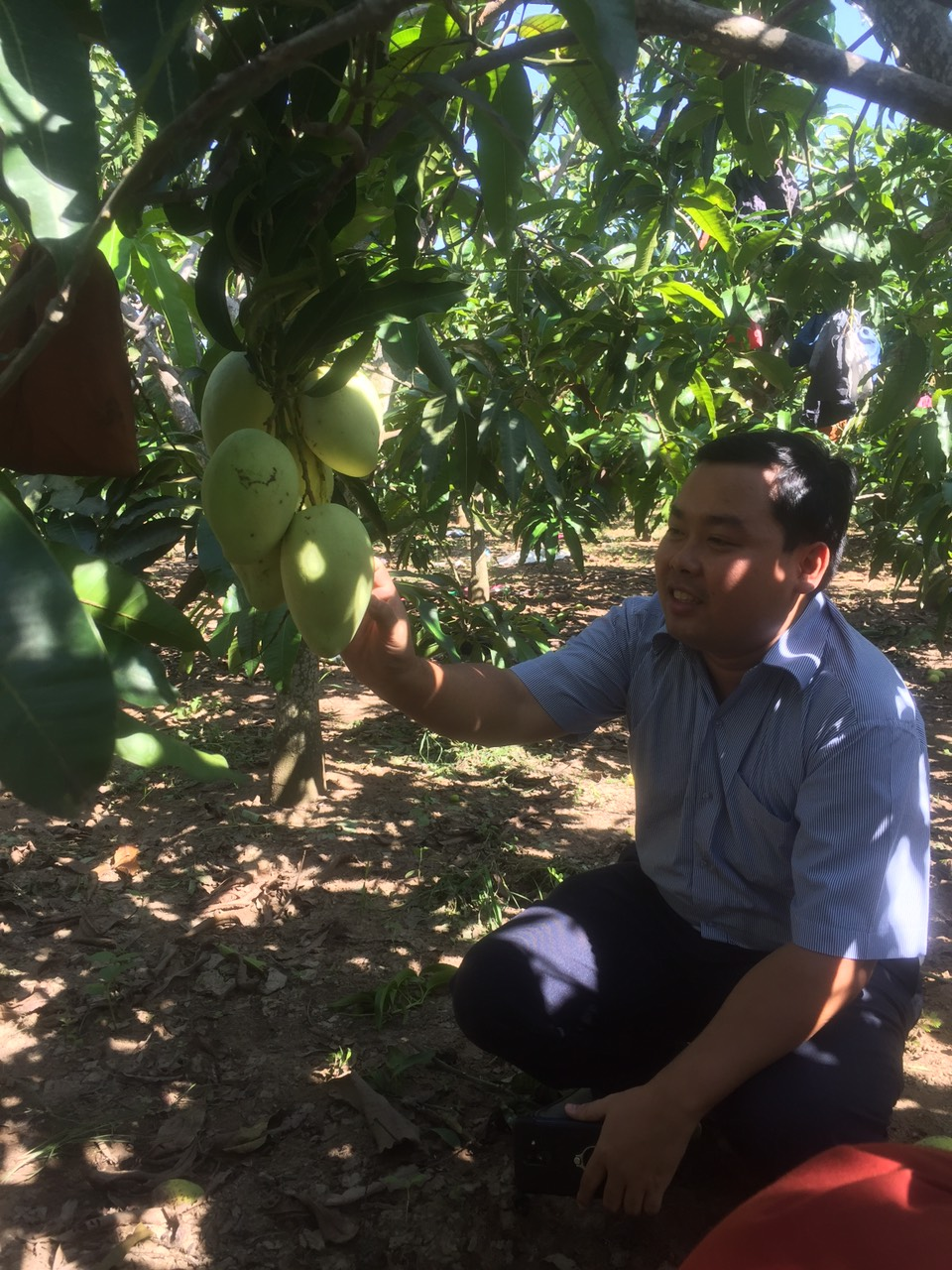 Ứng dụng KH&CN phát triển chuỗi giá trị xoài Tứ quý Thạnh Phú