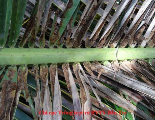 Biện pháp quản lý tạm thời sâu đầu đen hại dừa Opisina arenosella Walker
