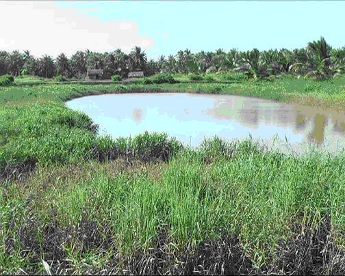 Hiệu quả bước đầu của người tiên phong trồng cỏ trong ao tôm biển làm thức ăn nuôi bò tại vùng ngọt hóa xã Định Trung