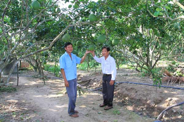 Hiệu quả kinh tế từ mô hình trồng bưởi da xanh xen nhãn và nuôi bò sinh sản