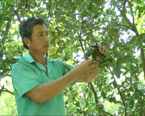 Mô hình trồng quýt đường xen mít Thái cho thu nhập cao
