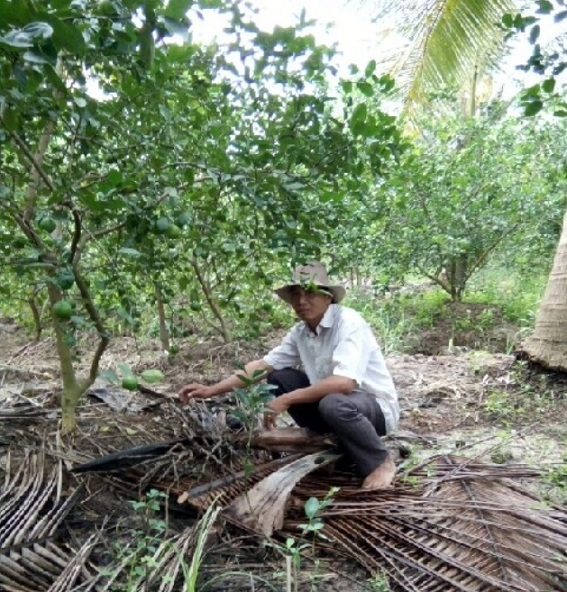 Mô hình trồng chanh xen vườn dừa cho hiệu quả kinh tế cao
