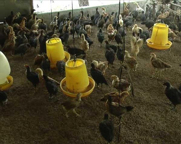 Nhân rộng hiệu quả mô hình nuôi heo, gà theo phương thức đệm lót sinh học