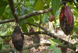 Tình hình sâu bệnh gây hại trên cây ca cao ở tỉnh Bến Tre