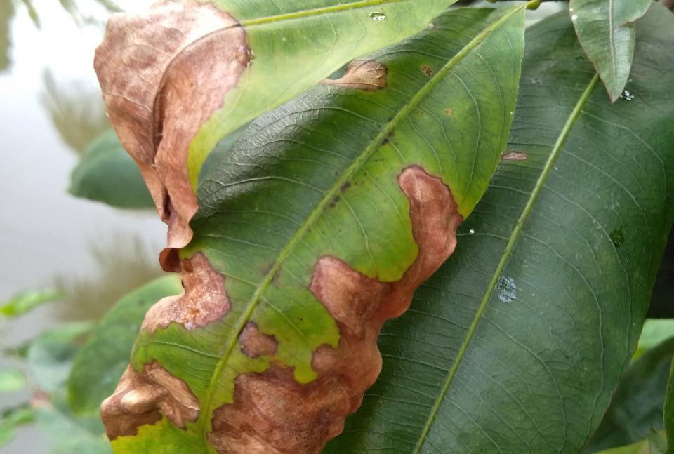 Quản lý sâu bệnh hại cây mai vàng