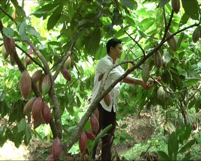 Trồng cacao theo tiêu chuẩn UTZ  cho năng suất tăng 20% cacao thường