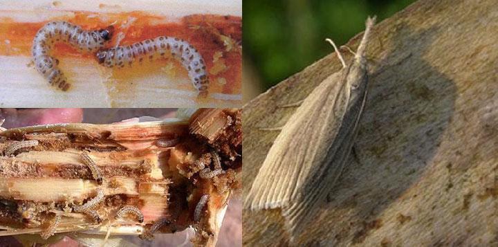 Hãy cảnh giác một loài sâu đục thân mới gây hại trên mía