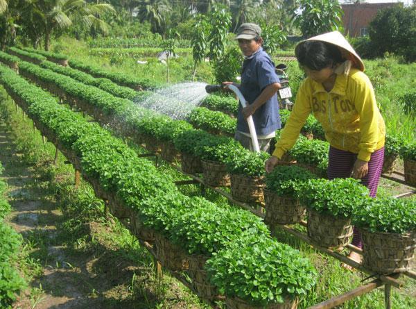 Kinh nghiệm trồng hoa cúc tết của nông dân ấp Hòa An xã Long Thới