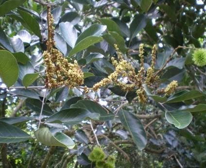 Cảnh báo bệnh chổi rồng  phát triển và gây hại trên cây chôm chôm