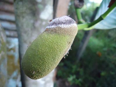 Phòng trừ ruồi đục trái và bệnh thối trái gây hại mít