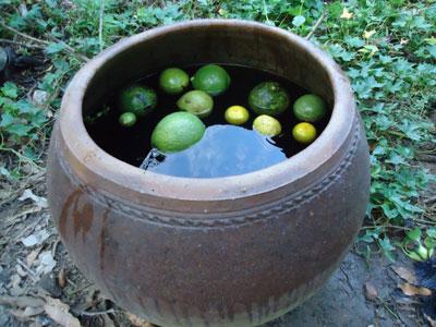 Tiêu hủy nguồn sâu-biện pháp hiệu quả hạn chế sự lây lan của sâu đục trái bưởi