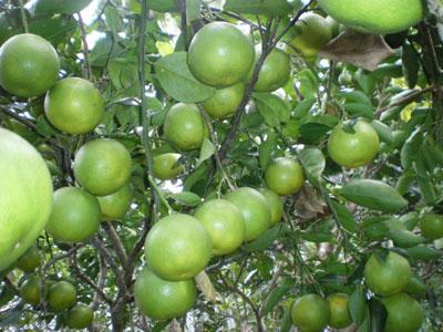 Biện pháp kỹ thuật để vườn cam trĩu quả, lâu già cỗi