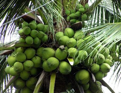 Kỹ thuật trồng dừa xiêm xanh