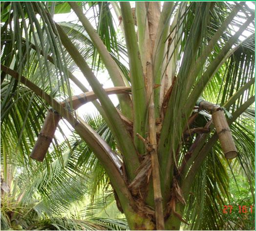 Phương pháp thu mật và cách chế biến đường từ mật hoa dừa