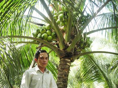 Dừa xiêm lục-giống dừa uống nước triển vọng