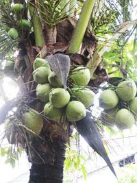 Chọn tạo thành công 3 giống dừa chịu mặn, hạn