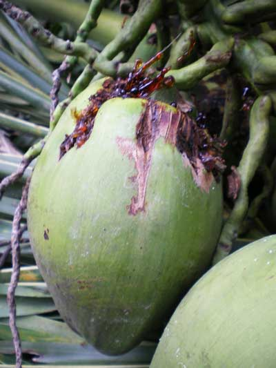 """""""Dừa mủ""""-Hiện tượng phổ biến trên các vườn dừa"""