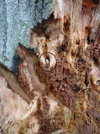 Bọ vòi voi trên cây dừa