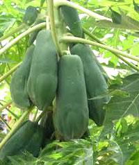 Để có vườn đu đủ trái dài, năng suất cao,…