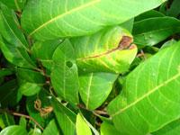 Biện pháp phòng trừ sâu đục thân lá nhãn