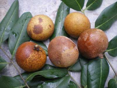 Phòng trừ bệnh thối trái nhãn
