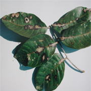Bệnh đốm rong (Cephaleuros virescens)
