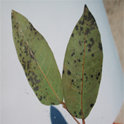 Bệnh đốm bồ hóng do nấm Meliola sp.