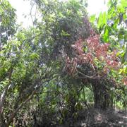 Bệnh khô cành (Phoma sp.)