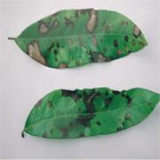 Bệnh thán thư (Colletotrichum gloeopsoriodes)