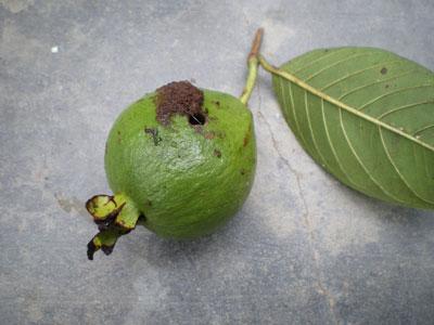Phòng trừ sâu đục trái và bệnh thán thư hại ổi trong mùa mưa