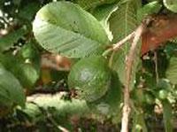 Phương pháp để ổi cho nhiều trái