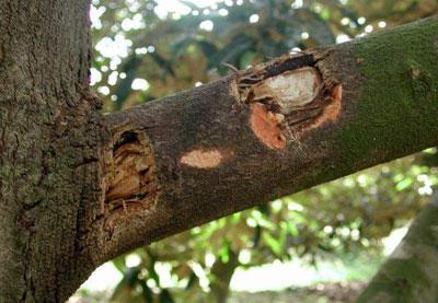 Phòng trừ bệnh thối trái sầu riêng