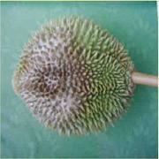 Bệnh thối gốc chảy mủ do nấm Phytophthora palmivora.