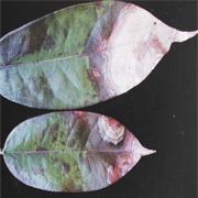 Bệnh thán thư do nấm Colletotrichum zibethinum