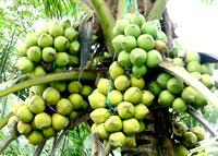 Trái dừa Bến Tre và cơ hội xuất khẩu sang Mỹ